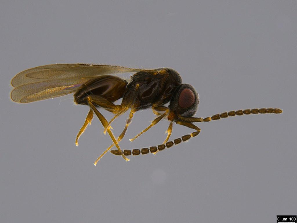 20b - Hymenoptera sp.