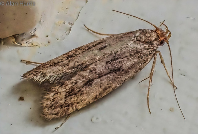 Common house moth-2 - Tinea Bisselliella- also known as the common clothes moth