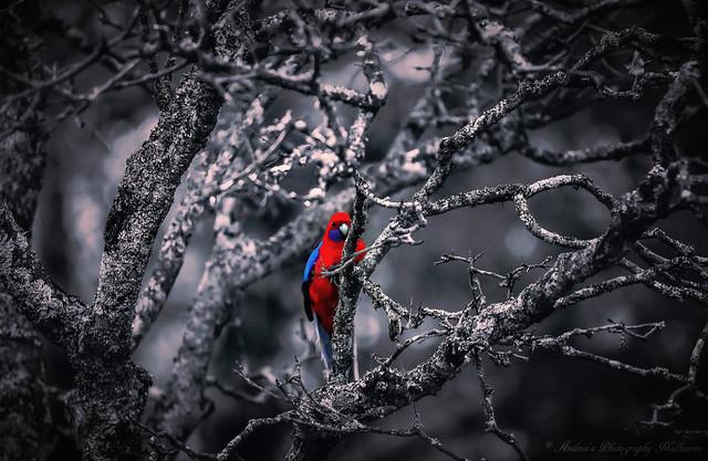 """Crimson Rosella"" Bird Photography"