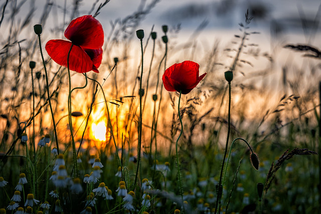 Poppys in sunset