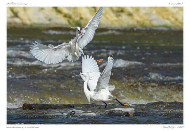 L'aigrette garzette | Little egret