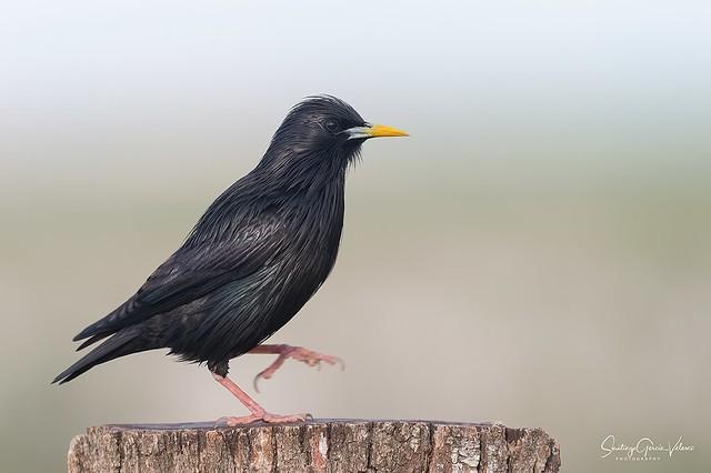 Estornino negro / Spotless starling (Sturnus unicolor)