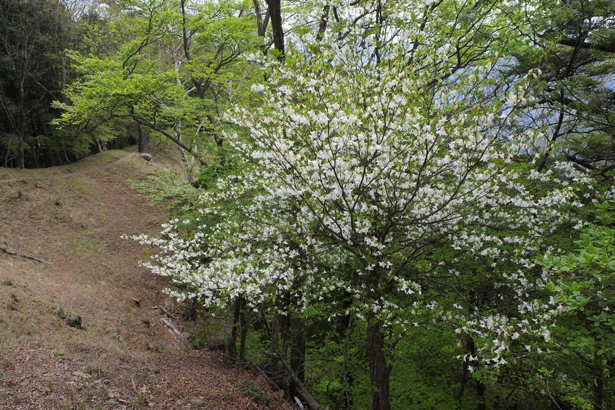 【奥多摩】蕎麦粒山~川苔山 シロヤシオ満開の登山