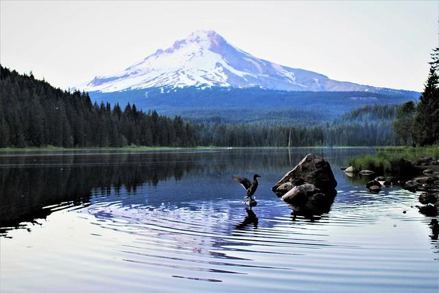 Ducks of Trillium Lake