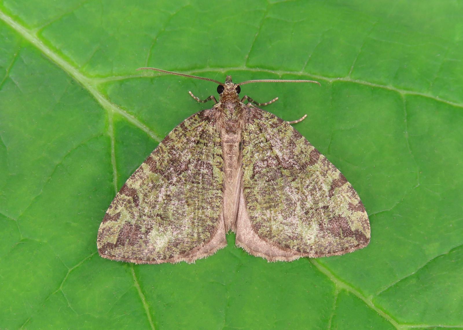 70.074 July Highflyer - Hydriomena furcata