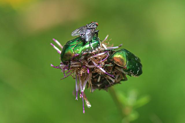 Fliege auf Rosenkäfer