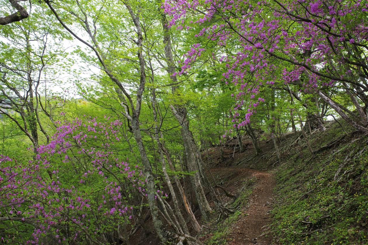 天目山~蕎麦粒山 登山道のツツジ