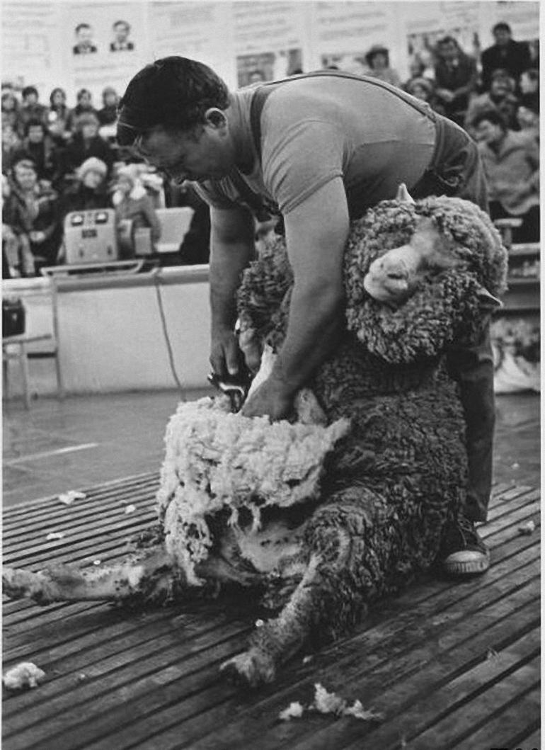 1968. ВДНХ. Стрижка овец