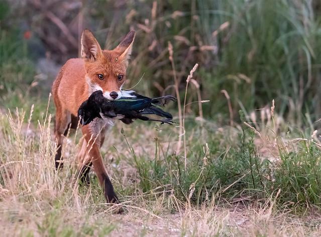 Fox with prey