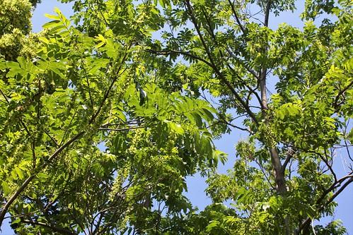 Pterocarya caucasica = fraxinifolia , Pterocaryer du Caucase  - Page 2 51268735327_8a9d1c92e8