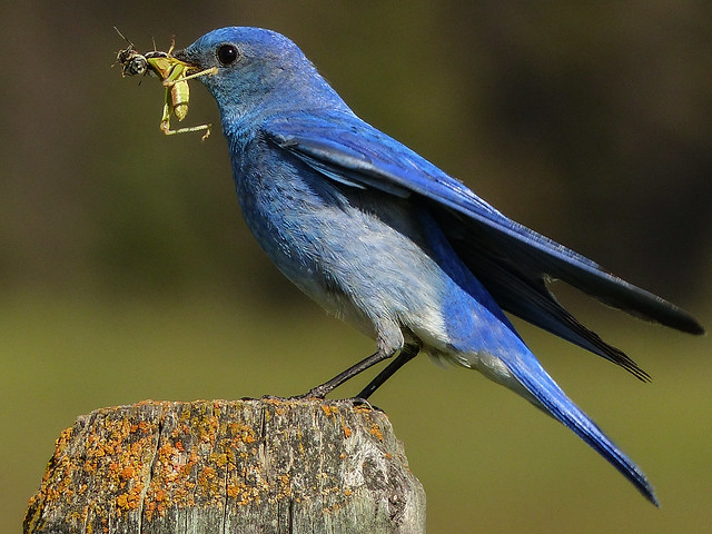01 Mountain Bluebird with food for babies