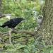 Crow vs Little Owl