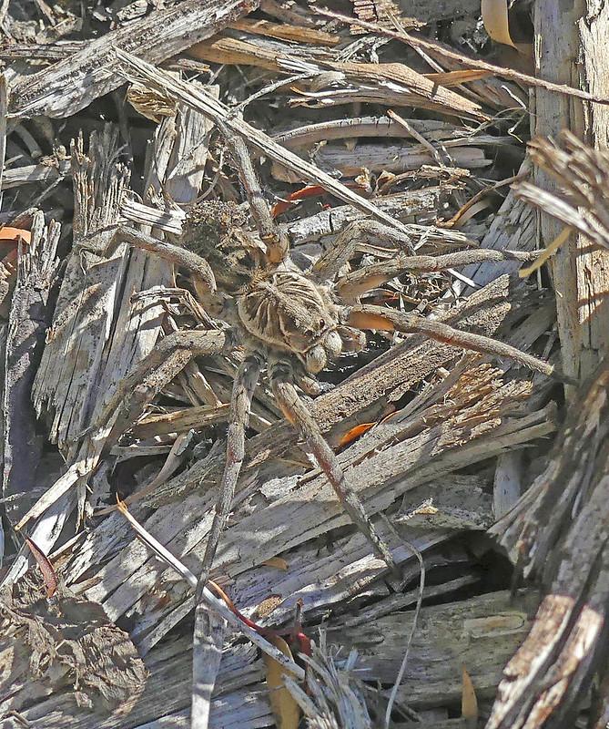 8. Wolf Spider - Tasmanicosa godeffroyi   N Blair (Lycosidae)