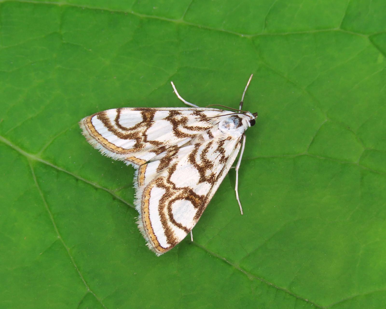 63.118 Beautiful China-mark - Nymphula nitidulata