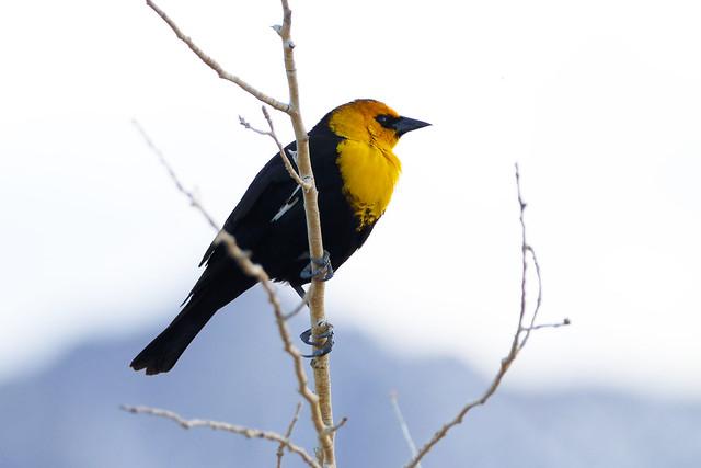 Yellow Headed Blackbird Portrait, Diaz Lake, California