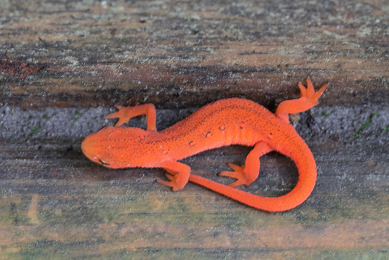 Juvenile Eft of the Red-spotted Newt