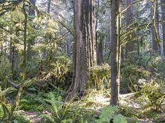 Roadside redwood forest scene in Jedediah Smith Redwoods State Park