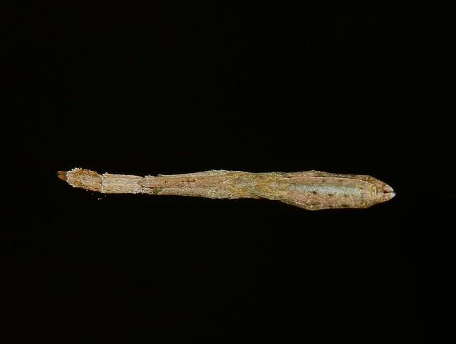 Hackled orbweb weaver spider Uloborus sp sff barbipes Uloboridae Mandalay rainforest Airlie Beach P1150715