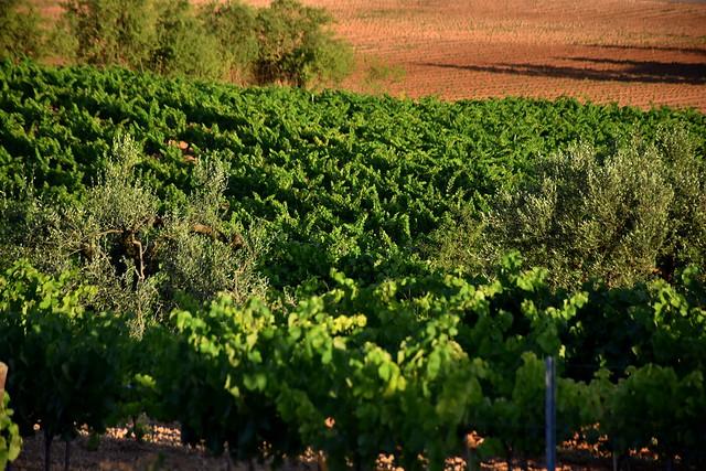 Vinyes i oliveres, Torrelles de Foix