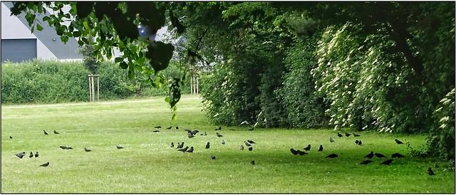 Belegbild- Dohlen im Stadtpark auf Nahrungsuche, viele Jungvögel.