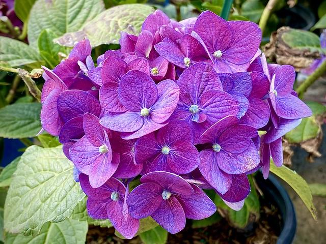 Purple Pearl Petals
