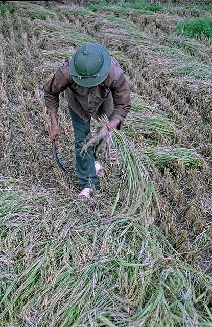 Vietnam - country side Hanoi - rice fields