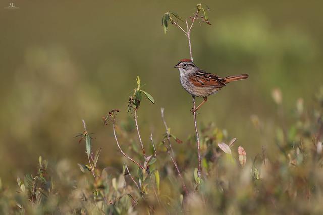 Swamp sparrow - Bruant des marais  - Melospiza georgiana