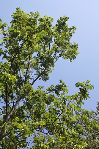 Pterocarya caucasica = fraxinifolia , Pterocaryer du Caucase  - Page 2 51269667343_48b9570291