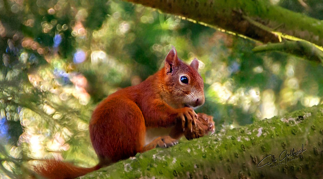 The Squirrel and his nut