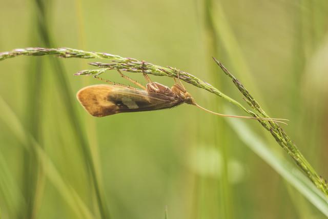 Sedge Fly