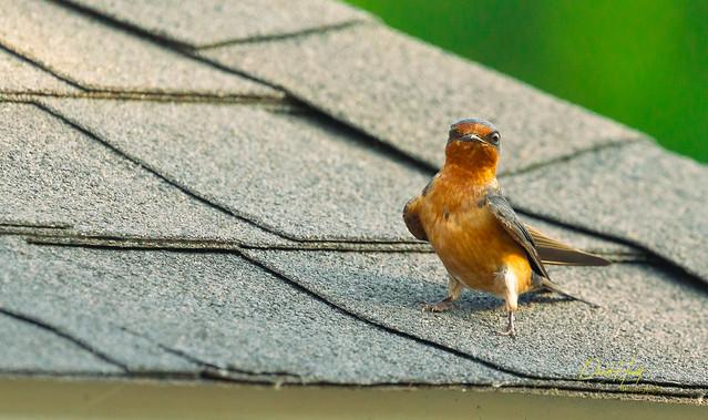 Barn Swallow-0176