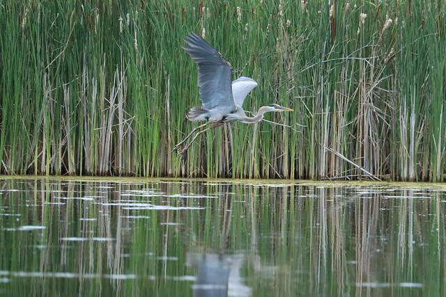 Great Blue Heron series