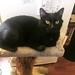Raven on mini cat truee