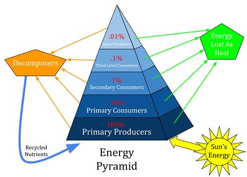 Piramide trofica