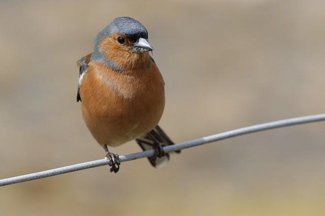 Chaffinch (m) Bird on a Wire