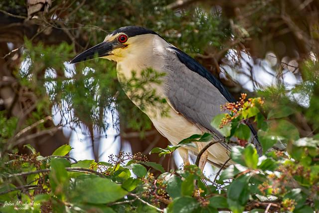 2021.06.17.3013.D850 Black-Crowned Night Heron