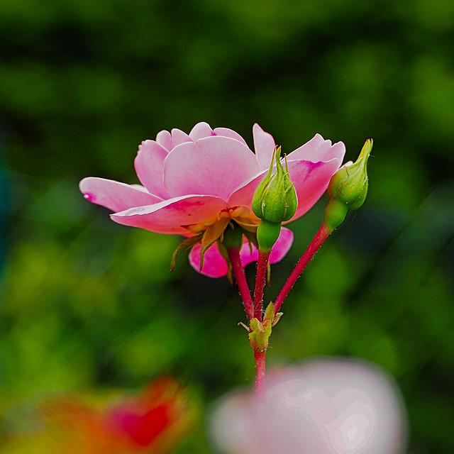 D57 Rose, Blumen, Flowers