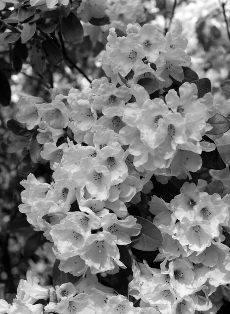 Mere rhododendron