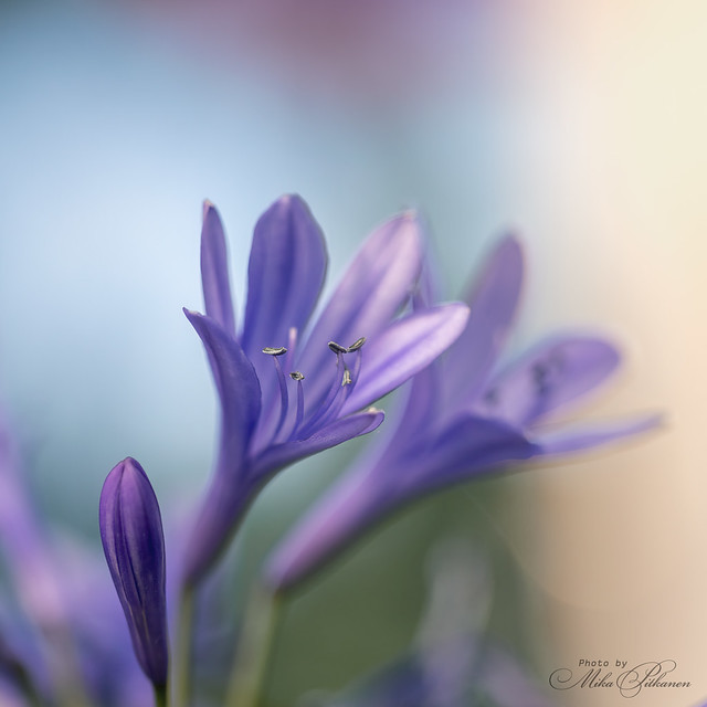 Blue Lily 2