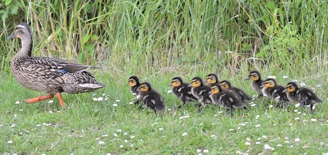 Mallard New Mum and 10 babies Lets go swimming _0552
