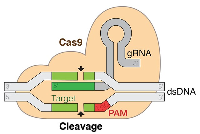 https://commons.wikimedia.org/wiki/File:GRNA-Cas9.png