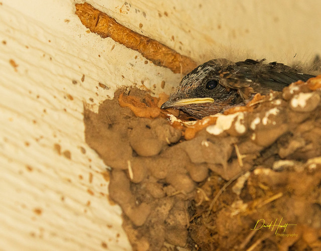 Barn Swallow Fledgling-0247