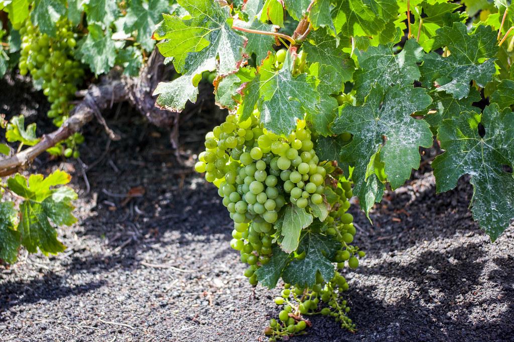Uvas de La Geria en Lanzarote