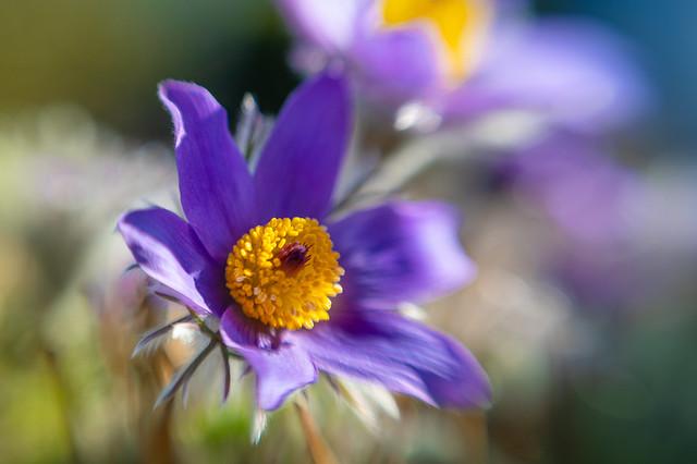Little pasque flower in the warm spring sun