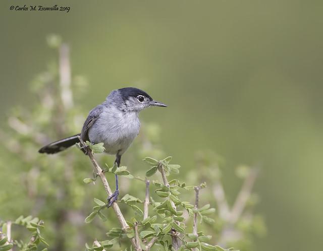 Black tailed Gnatcatcher_MG_0433edtsg1