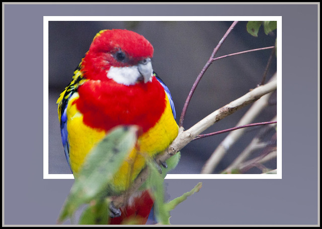Eastern Rosella out of bounds