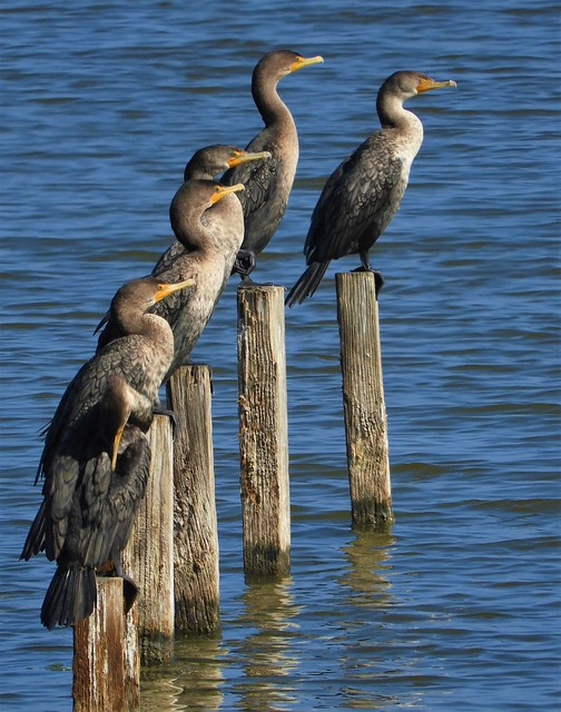 Double-Crested Cormorants at Shoreline