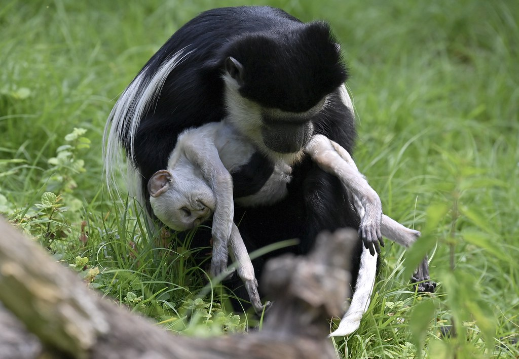 Trauer einer Guereza-Mutter um ihr totes baby; mourning of a Guereza-mother about the death of her baby 😭😭😭