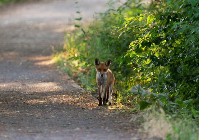 Junger Fuchs auf Futtersuche 26.6.2021