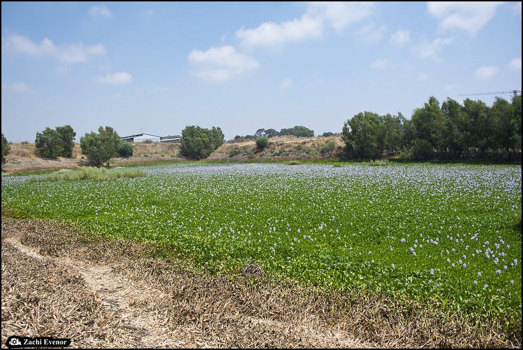 Eichhornia Beit Yitzhak 2021-06-26 IZE-100